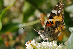 2019 06 22_Painted Lady (Jonnersace) Tags: paintedlady vanessacardui butterfly insect garden privet flower proboscis colours nature macro bokeh canon canon7dii canon100mmf28