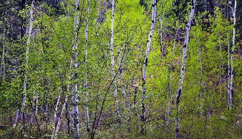 Aspens in Bloom in the Black Hills