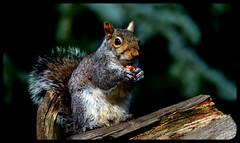 Wonderful wildlife (pitkin9) Tags: greysquirrel sciuruscarolinensis wildlife woodlands nature