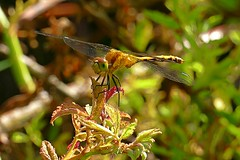 Ruby Meadowhawk (Eat With Your Eyez) Tags: ruby meadowhawk dragonfly odonata odonate wing wings fly flying insect bug animal eye eyes head body park outdoors nature ashland county ohio hurdle waterfowl panasonic fz1000