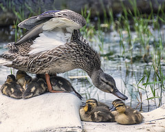 The Brood (superdavebrem77) Tags: ducks nature toronto wardsisland brood