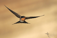 Welcome Swallow (VS Images) Tags: welcomeswallow swallowsinflight hirundinidae hirundoneoxena swallows birdsinflight bif birds birding avian animals australianbirds australianwildlife vsimages vassmilevski olympus omd olympusinspired olympusau getolympus m43 australia nsw nature ngc naturephotography wildlife wildlifephotography