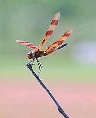 Ashland County, Ohio  Halloween Pennant Best (Eat With Your Eyez) Tags: halloweenpennantdragonflyinsectanimalbigwingwingsredflyflyingoutdoorsparkashlandcountyohiopanasonicfz1000 insect