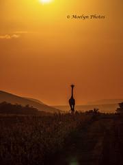 Giraffe Silhouette at Sundown (moelynphotos) Tags: sunset sun light illuminated naturescenics giraffe silhouette oneanimal animalwildlife animalsinthewild safari safariannimals mountain tranquilscene iconic travel southafrica africa limpopoprovince welgevondenprivategamereserve nopeople nature moelynphotos