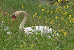 swan waterland 094A0026 (j.a.kok) Tags: animal watervogel waterbird vogel bird zwaan swan knobbelzwaan waterland