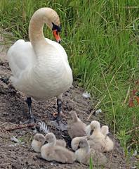swan waterland 094A0133 (j.a.kok) Tags: animal watervogel waterbird vogel bird zwaan swan knobbelzwaan waterland