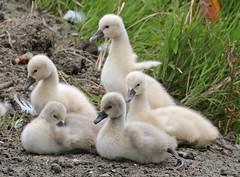 swan waterland 094A0321 (j.a.kok) Tags: animal watervogel waterbird vogel bird zwaan swan knobbelzwaan waterland