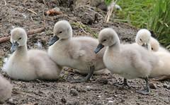swan waterland 094A0290 (j.a.kok) Tags: animal watervogel waterbird vogel bird zwaan swan knobbelzwaan waterland