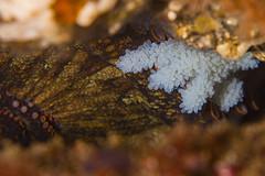 octoeggs6Jun13-19 (divindk) Tags: anacapa ocean sea santabarbara marine underwater sealife octopus eggs reef ventura channelislands octo santacruzisland underwaterphotography channelislandsnationalpark anacapaisland santarosaisland sanmiguelisland eggmass octopusbimaculoides twospotoctopus diverdoug bimacoctopus