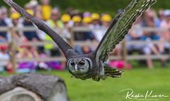 Wildlife at Warwick Castle, England (rvk82) Tags: 2018 birds england june june2018 nikkor200500mm nikon nikond850 rvk rvkphotography raghukumar raghukumarphotography warwick warwickcastle wildlife rvkonlinecom rvkphotographycom rvkphotographynet unitedkingdom