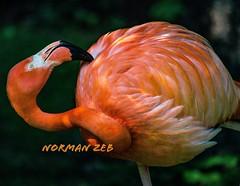 Flamingo! Nikon d5500 dslr - - - - - - #flamingo #flamingoes #flaminco #flamengo #dance #bird #beak #closeup #red #pink #reddish #pinkish #legs #happy #nature #natural #feathers #fur #flight #fly #fliers #landscape #wildlife #species #sanctuary #birdsanct (a2roland) Tags: flight pink fur beak happy flamingoes flamengo red fliers flaminco normanzeb feathers zeb bird legs birdsanctuary dance wildlife sanctuary natural nature flamingo pinkish norman eye fly closeup species reddish landscape