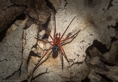 Nicodamus peregrinus (dustaway) Tags: nature australianwildlife australia arthropoda arachnida araneae araneomorphae nicodamidae nicodamusperegrinus redandblackspider australianspiders canungra sequeensland queensland