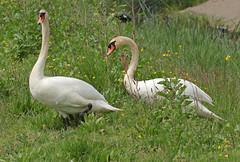swan waterland 094A0033 (j.a.kok) Tags: animal watervogel waterbird vogel bird zwaan swan knobbelzwaan waterland