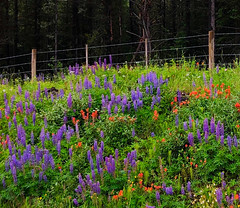 "Fence above roadside wildflowers: HFF! (peggyhr) Tags: summer hff canada bc white green orange red blue fence ""thecariboo"" daisy hawkweed ""indianpaintbrush"" lupine wildflowers dedication peggyhr super~sixbronze☆stage1☆ thegalaxystars1 thelooklevel1red super~six☆stage2☆silver thelooklevel4purple carolinasfarmfriends thegalaxystars2 thelooklevel5green"