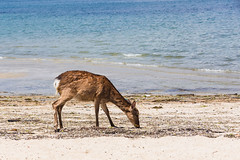 Miyajima Island Deer (shiruichua) Tags: japan miyajima island hiroshima deer animals beach blue water peaceful canont5i 18135mm lens 700d sacred shinroku
