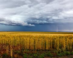 Lightning (sibnet2000) Tags: lightning storm electricalstorm wheatfields wheat kennewickwa