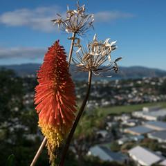 Maupuia poker (OzzRod) Tags: sony a7rii sonyepz1650mmf3556oss plant flowers redhotpoker closeup bokeh square maupuia wellington newzealand