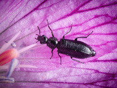 Dasytes aeratus (mickmassie) Tags: coleoptera gardentq209783 insecta