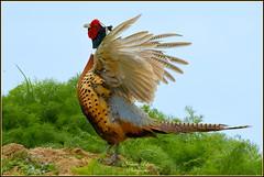 """Faisan de Colchide ( Phasianus colchicus ) image prise depuis la voiture et dans un milieu naturel . """" aucun groupe en partage et aucune invitation s'il vous plaît ! No groups and no invitations please ! """" (Le Papa'razzi) Tags: faisandecolchide oiseaudechasse gibier campagne plumage nikond500 nikkor200500mmf56"""