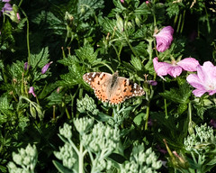 Painted Lady (mickmassie) Tags: gardentq209783 insecta lepidoptera