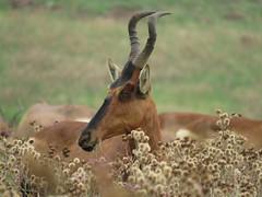 Hartebeest in Nature's Flower Garden  ( Hartebees ) (Pixi2011) Tags: antelope rietvleinaturereserve southafrica africa wildlifeafrica wildlife nature
