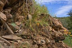 Northern Pacfic Rattlesnake den- Crotalus oreganus (Marisa.Ishimatsu) Tags: crotalus crotalusoreganus northernpacificrattlesnake rattlesnake