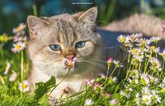 """SUMMER! A fantastic weekend for everyone!SUVI! Fantastilist nädalavahetust kõigile! ☀️💥🌞 (Igor """"Ixa"""" Nael) Tags: summer suvi kass cat animals loom koduloom lemmikloom kassid lilled flowers päike sun canon"""