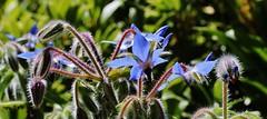 Borretsch (Borago officinalis) (Hugo von Schreck) Tags: hugovonschreck borretsch boragoofficinalis flower canoneosm50 tamronsp90mmf28divcusdmacro11f017