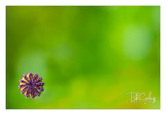 Cornered (Bob Geilings) Tags: floral flower purple green mood flora bokeh closeup macro nature summer stigma top