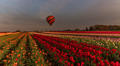 Up and Away (Cole Chase Photography) Tags: sunrise flowerfield woodburn oregon hotairballoon tulips spring pacificnorthwest rainbow colors vivid