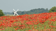 In the haze - Windmill among poppies. (Sky and Yak) Tags: windmill poppy poppies red view distant field agriculture wiltshire uk sails redandwhite