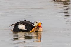 King Eider (Dan King Alaskan Photography) Tags: kingeider somateriaspectabilis seaduck avian bird colorful male eider preservewilderness protectwildlife canon80d sigma150600mm