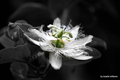 Passion star unit by iezalel williams IMG_5792-004 - Canon EOS 700D (iezalel7williams) Tags: beautiful flora flower passionfruit natural selectivecolor beauty blackwhite nature canoneos700d nice photography closeup love light plant outdoor naturalplace green yellow