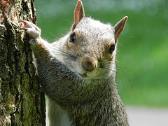 Hello Hastings. (tony allan tony allan) Tags: squirrel greysquirrel nature naturalworld wildlife park nikoncoolpixp500