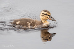 Duckling 502_0183.jpg (Mobile Lynn) Tags: wildfowl mallard birds ducks nature anasplatyrhynchos anseriformes bird duck fauna wildlife estuaries freshwater lagoons lakes marshes ponds waterfowl webbedfeet godalming england unitedkingdom