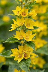 Large Yellow Loosestrife (François dt) Tags: canon 6dmarkii canon6dmarkii nature flower wildflowers gardenflower