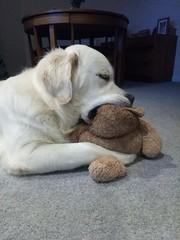 In a Trance (andreboeni) Tags: golden labrador retriever dog chien hund perros dogs chiens hunden teddybear