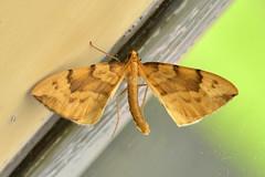 Barred Straw ... Gandaritis pyraliata (AndyorDij) Tags: barredstraw gandaritispyraliata moth lepidoptera insect andrewdejardin england empingham empinghammoths rutland uk unitedkingdom nationalmothweek geometridae