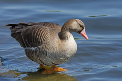 Белолобый гусь, Anser albifrons albifrons, Greater White-fronted Goose (Oleg Nomad) Tags: белолобыйгусь anseralbifronsalbifrons greaterwhitefrontedgoose птицы москва bird aves moscow