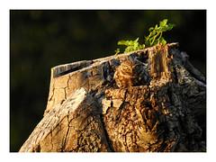 Athene noctua (M.L Photographie) Tags: nature animal wild wildlife wildlifephoto wildlifephotography ornitho ornithology ornithologie france normandie eure noctua chevêche chouette owl nikon coolpix p900