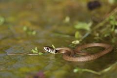Natrix natrix asteptophora (HerpetoDaniel) Tags: grass snake natrix asteptophora wildlife reptile reptilia europe france couleuvre collier serpent bokeh macro sigma 105 sigma105 herp herpetology grasssnake