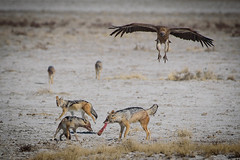 There will be blood... (Valérie C) Tags: wild jackal vulture namibia etosha nikon fight food 200500mm