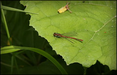 Large Red Damselfly (catb -) Tags: largereddamselfly pyrrhosomanymphula damselfly river ireland insect nature dodder