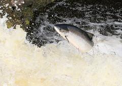 Leaping Salmon - Falls of Shin (Ally.Kemp) Tags: leaping salmon scotland scottish atlantic salar salmo falls of shin achany lairg sutherland wild