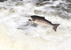 Leaping Salmon - Falls of Shin (Ally.Kemp) Tags: leaping salmon scottish scotland atlantic salar salmo wildlife wild achany sutherland lairg