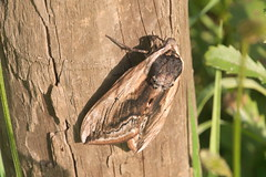 Mr Big (John Spooner) Tags: privethawkmoth privet hawkmoth moth panasonic lumix gx80 gx85 post fencepost sphinxligustri