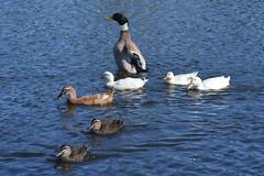 Ducks on a sunny day (Urban and Nature OZ) Tags: duck bird waterbird silverappleyardduck birds waterbirds mallard pacificblackduck anasplatyrhynchos ducks