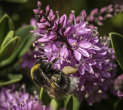 Some Like It Hot (A Journey With A New Camera) Tags: bee bumblebee pollen wings nature macor bokeh dof