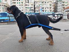 SWAT (asedeek70) Tags: rottwieller dog bigbreed swat pet blackandtan starpets weightpullharness buildmuscle