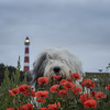 poppy Scarlett (dewollewei) Tags: oldenglishsheepdog oldenglishsheepdogs old english sheepdogs sheepdog dewollewei scarlett ausdemrotmaintal poppy poppies klaprozen vuurtoren lighthouse ameland amelandfoto hollum dogs dog oes oldenglishsheepsdog wadden wadeenplaatje flowers wildflowers